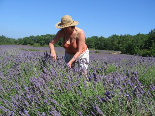 Lavendelolie gebruik uitleg lavendel gebruik rustgevend